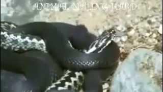 Snake Mating , Snake Mating With Female  Animal Mating Hard