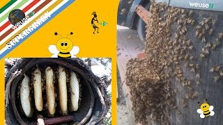 """7 of 10 - Apicoltura - Incredibile sciamatura api allo stato brado e creazione di un """"arnia madre"""""""