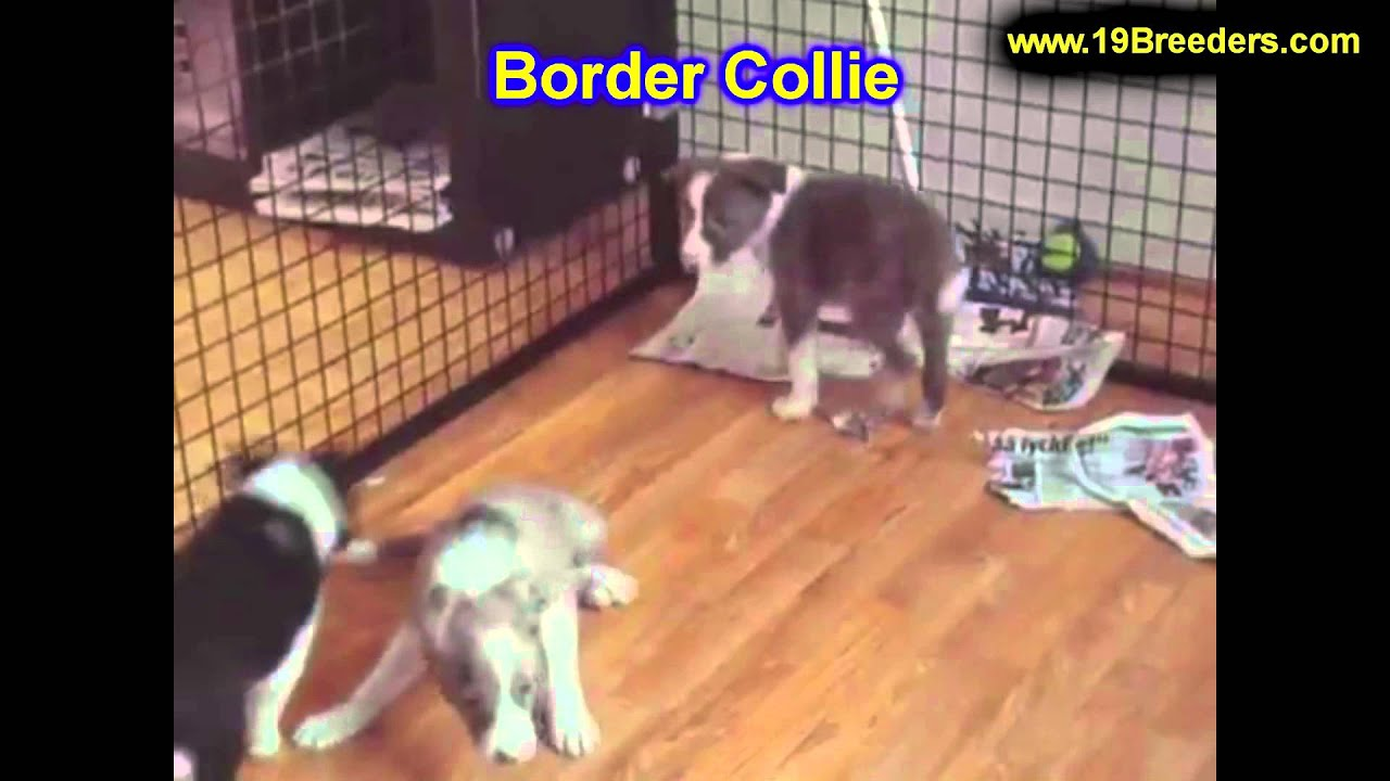 Border Collie, Puppies, Dogs, For Sale, In Birmingham ...