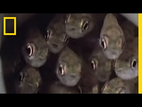 Killer Cuckoo Catfish | National Geographic