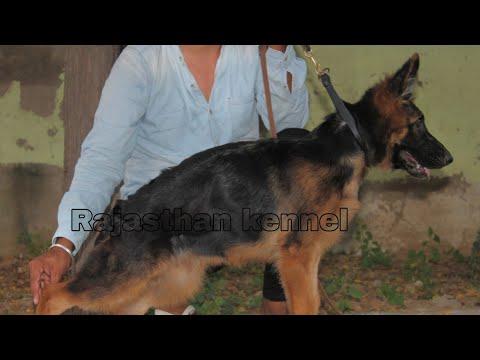 Rajasthan kennel - German Shepherd dog breed
