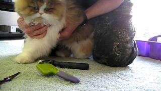 12 01 06 Persian Cat Grooming 101