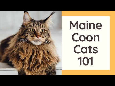 Maine Coon Cats 101  Cat Breed And Personality