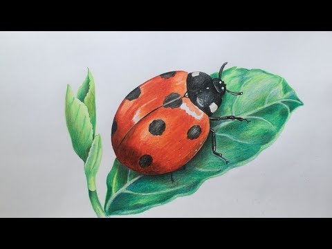 Ladybug Drawing In Color Pencils | Realistic Ladybug Drawing | Faber Castell Polychromos