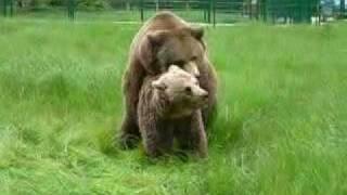 bear mating