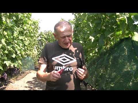 Виноградник и осы