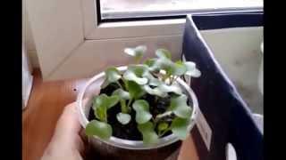 Посадка и выращивание рассады капусты в домашних условиях(Это видео создано с помощью видеоредактора YouTube (http://www.youtube.com/editor), 2015-04-25T09:43:00.000Z)