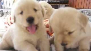 2014年9月12日生まれのゴールデンレトリーバーの子犬たちです。 http://...