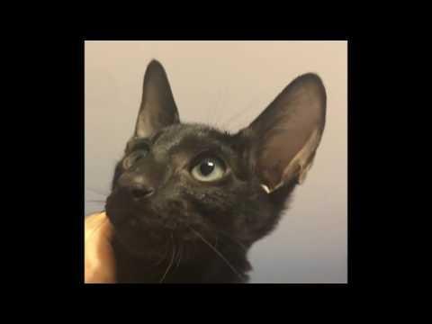 Oriental Shorthair Black Kitten Slideshow