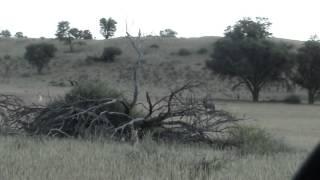 Itumeleng the Kalahari leopard