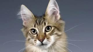 Порода кошек.Турецкая ангора. Пышная белая  шерсть,и разные по цвету глаза