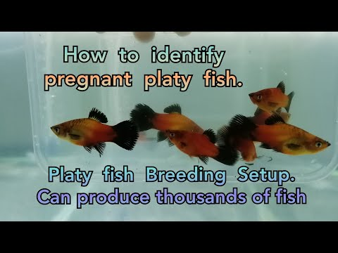 How To Identify Pregnant Platy Fish. Cheap Platy Fish Breeding Setup. Flowerhorn Update & SHOUTOUTS