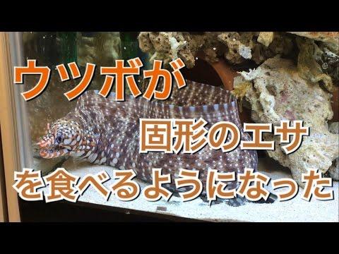 アクアリウムトラウツボが固形の餌を食べるようになった&海藻導入海水魚水槽