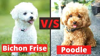 Bichon Frise v/s Poodle: What are the Differences and Similarities between both these Breeds?