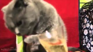 смешные кошки18