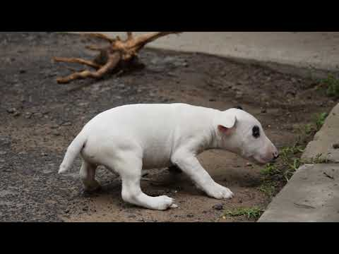 Sunglasses - Miniature Bull Terrier Puppy for sale