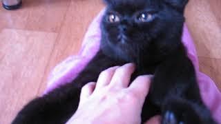 Британский черный котенок кот в питомнике British House