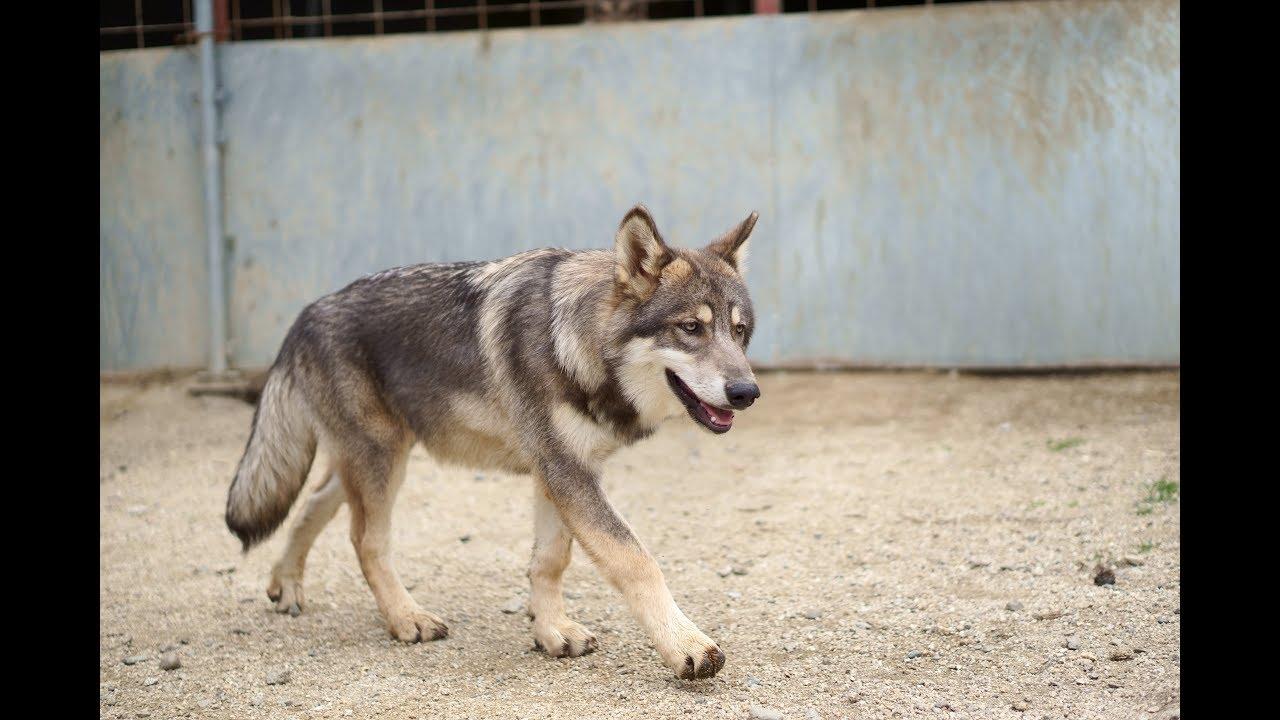 狼犬の犬舎へ行って來た!【WILD-BULLET】 - YouTube