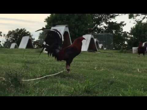 Rat graves gamefarm Oklahoma