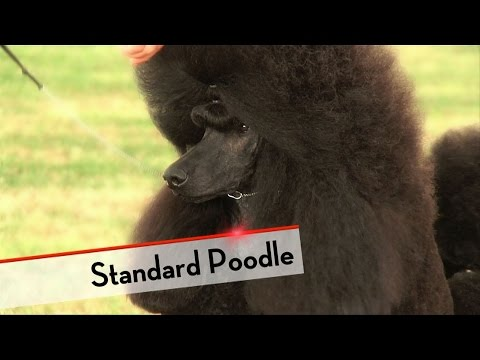 Standard Poodle - Best of Breed