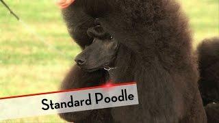Standard Poodle - Best of Breed
