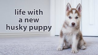 My First Month with A Husky Puppy (watch this before getting one)