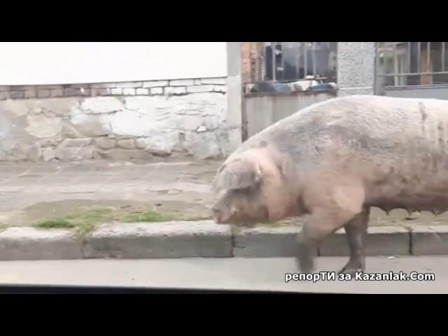 Свинка на разходка в Казанлък