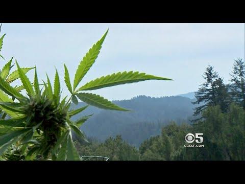 Black Market Marijuana Blamed in Sonoma County Crime Spree