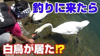 【ナブラ発生】白鳥が居る波止場で釣りをしてみた thumbnail