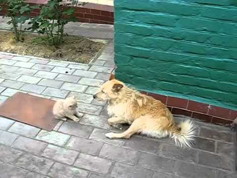 Kitten vs Patient Dog - Youtube