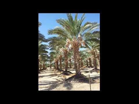 Date Farms of Palestine    مزارع الحاج شوكت حوشية - اغوار فلسطين