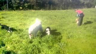 dressage chien cours collectif a 4