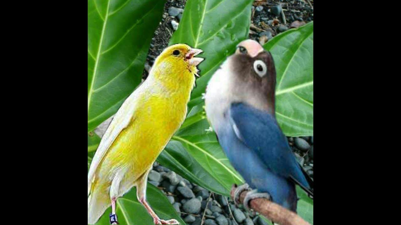 5 Racikan Pakan Jamu Tradisional Untuk Lovebird - Burungnya.com