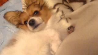 パピヨン犬 papillon 4か月
