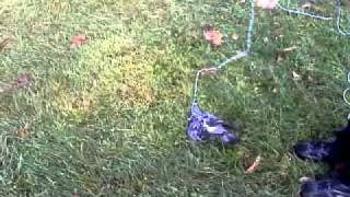 Training A Pigeon 2 Walk On A Leash