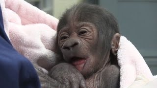 newborn gorilla gets bottle fed after mom dies from c section complications