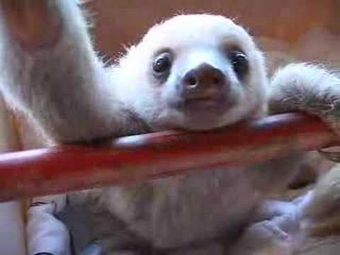 baby sloths hanging out youtube
