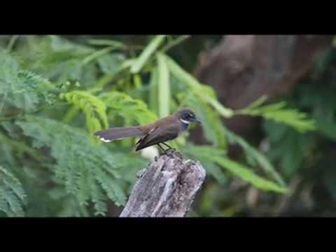 Rahasia dan Cara Merawat Burung Sikatan yang Baik dan Benar