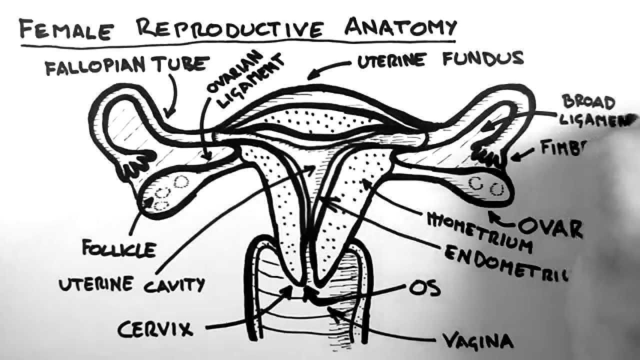 female reproductive structure diagram [ 1280 x 720 Pixel ]