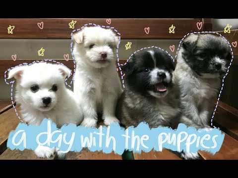 A day with the puppies (Half japanese spitz & Half shih tzu)