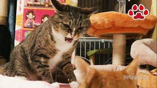 猫がブチ切れた【瀬戸のみみ日記】Cat got angry