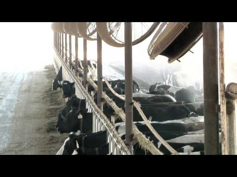 Koolfog Controls THI to Keep Dairy Cows Healthy