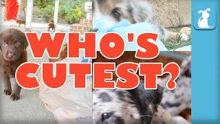 WHO'S CUTEST? YOU DECIDE! Which Puppy is Cutest? (Episode 9)