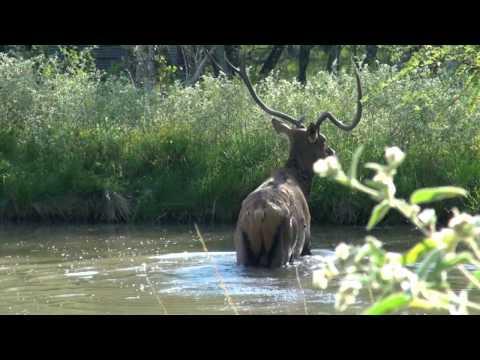 ram-hunt-at-independence-ranch-hog-hunting!