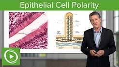 hqdefault - Kidney Epithelial Cells Brush Border