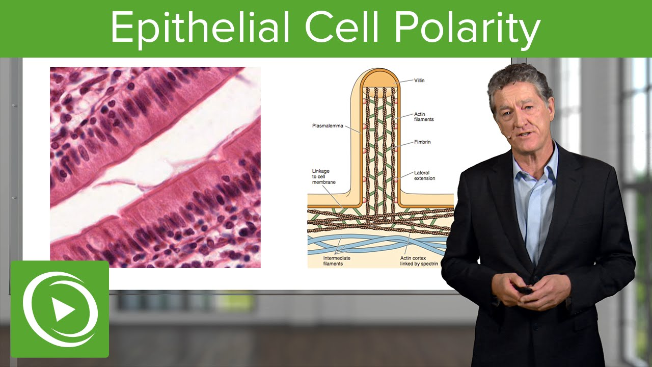 Epithelial Cell Polarity  – Histology | Lecturio