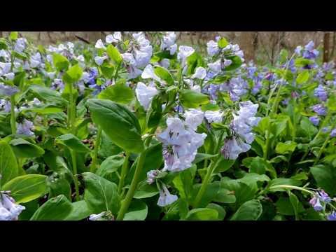 Capital Naturalist: Virginia Bluebells