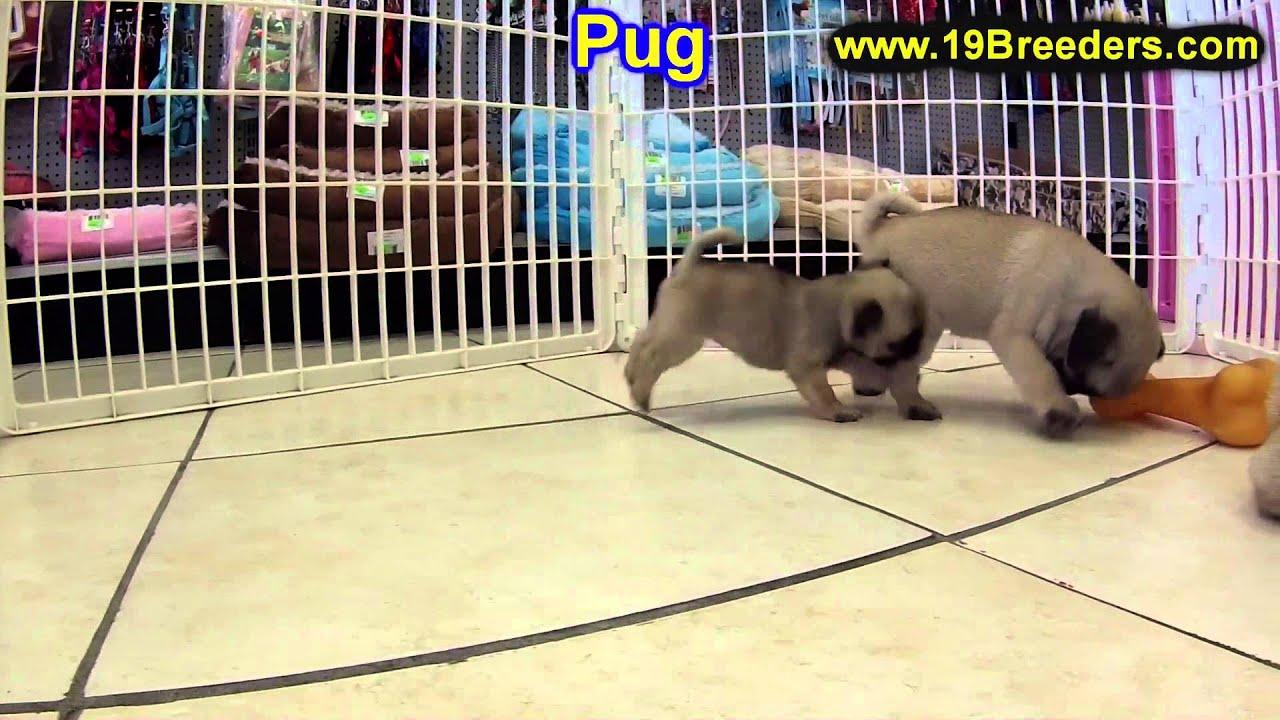 Pug, Puppies For Sale, In, Bellevue, Washington, WA, Yakima, Kitsap,  Thurston, Clark, Spokane, Snoho