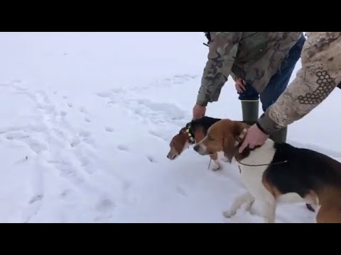 Hunting Coyote's With Hounds