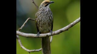 Suara Nyanyian Ocehan Kicauan Burung Ropel untuk Masteran CUCAKROWO